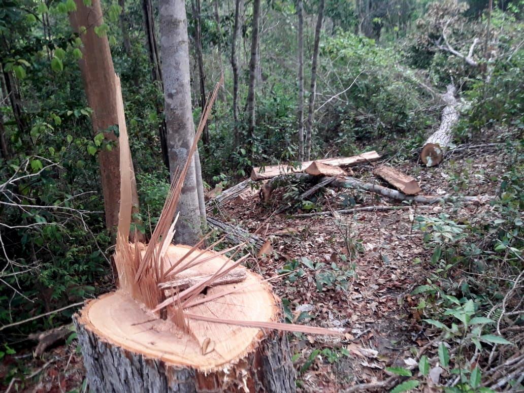 Registro de madeira derrubada no interior da TI Arariboia no início de 2019, feito pelos indígenas. Foto: Guardiões da Floresta Guajajara