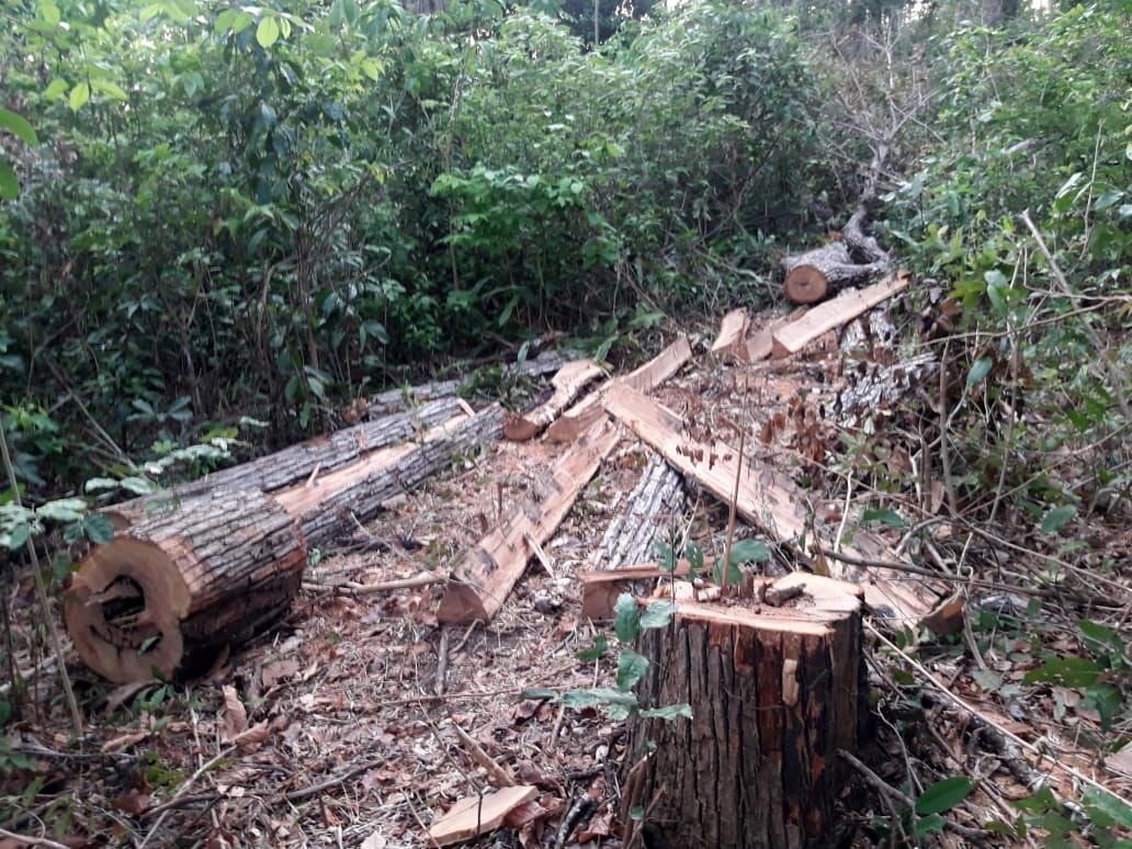 Madeira encontrada pelos Guajajara na expedição de monitoramento do território realizada na primeira semana de 2019. Foto: Guardiões da Floresta Guajajara