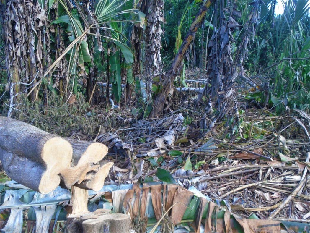 Sem nenhuma fiscalização e providências por parte do Estado, os invasores aproveitam a pandemia e intensificam a extração de madeira, inclusive próximo aos roçados. Foto: Povo Apolima-Arara